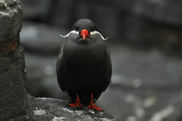 Inca Tern  The Magnificently Mustached Bird