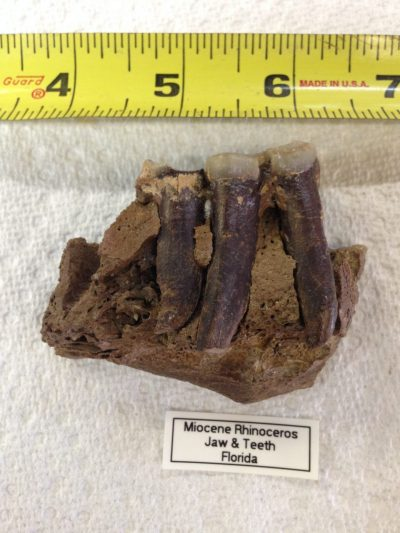 Rhinoceros Jaw Section with One and a Half Teeth Menoceras from very Animal from Florida