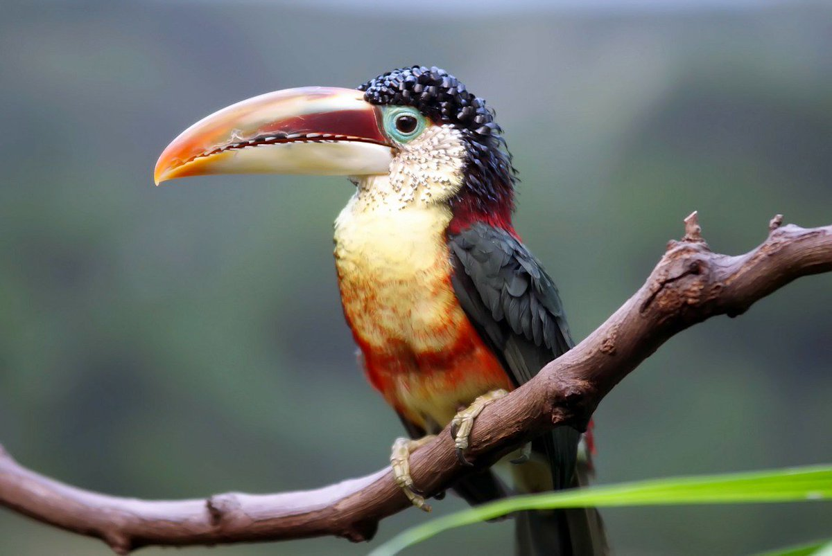 Is this bird wearing a wig  nope   meet the curl crested aracari     Is this bird wearing a wig  Nope   meet the Curl crested Aracari