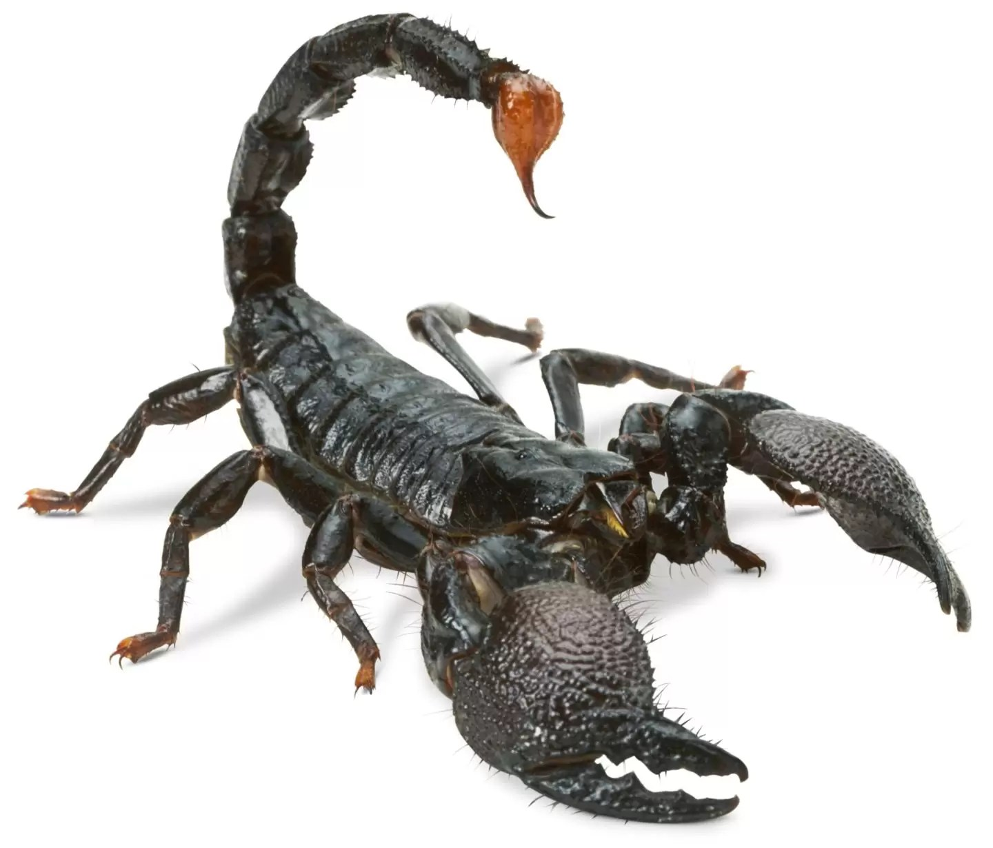 Scorpion Facts and FAQs: Everything You Need to Know - Pest Hacks