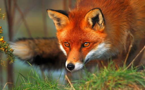 The red fox (Vulpes vulpes). | PARENTS ALLIANCE OF PRINCE GEORGE'S COUNTY, MARYLAND