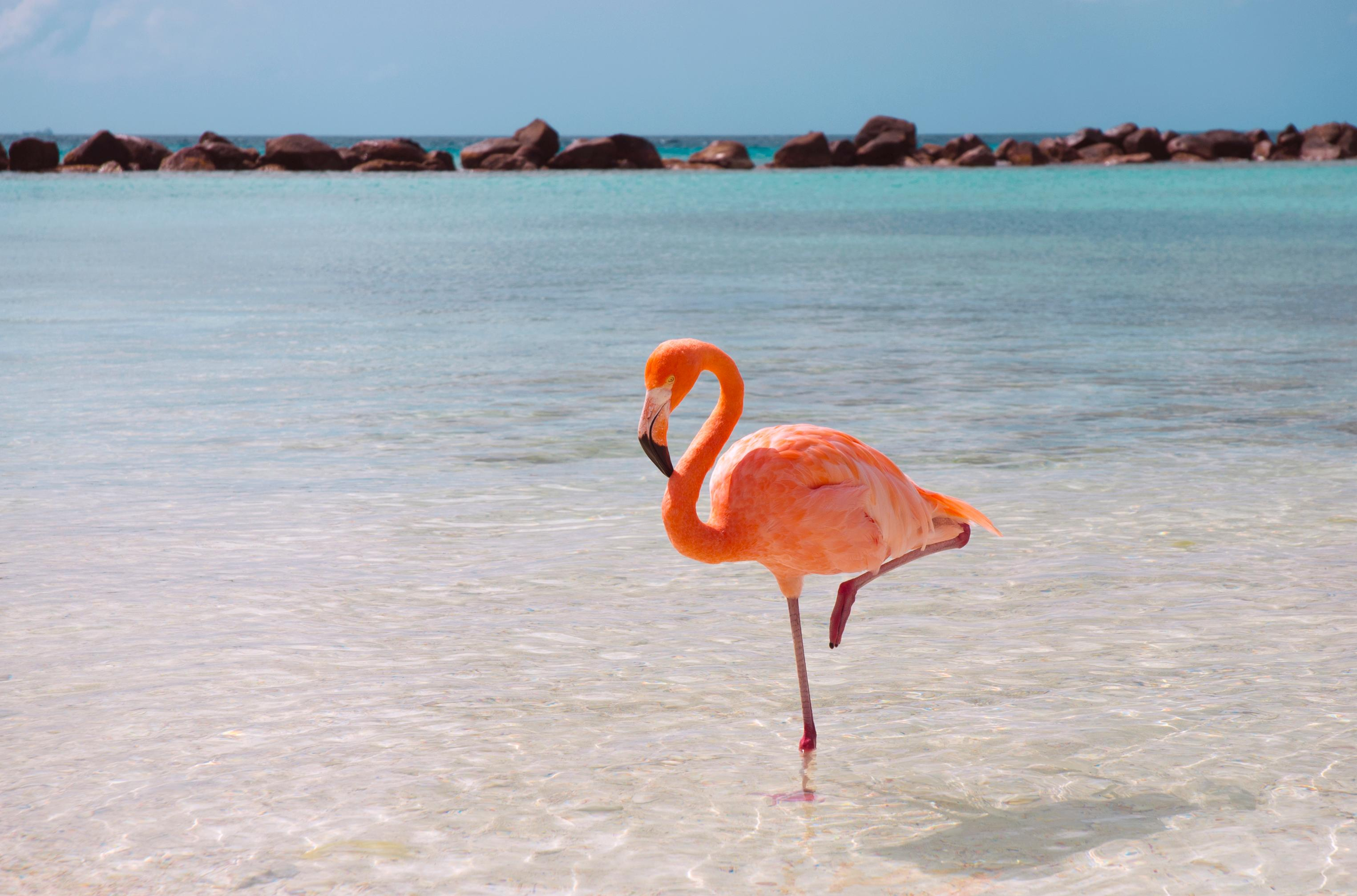 Ask Smithsonian  Why Do Flamingos Stand on One Leg    At the     Flamingo on the Beach