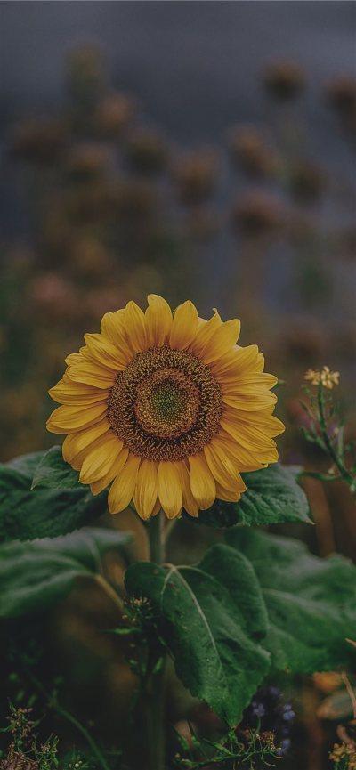 sunflower iPhone X Wallpaper Download | iPhone Wallpapers, iPad wallpapers One-stop Download
