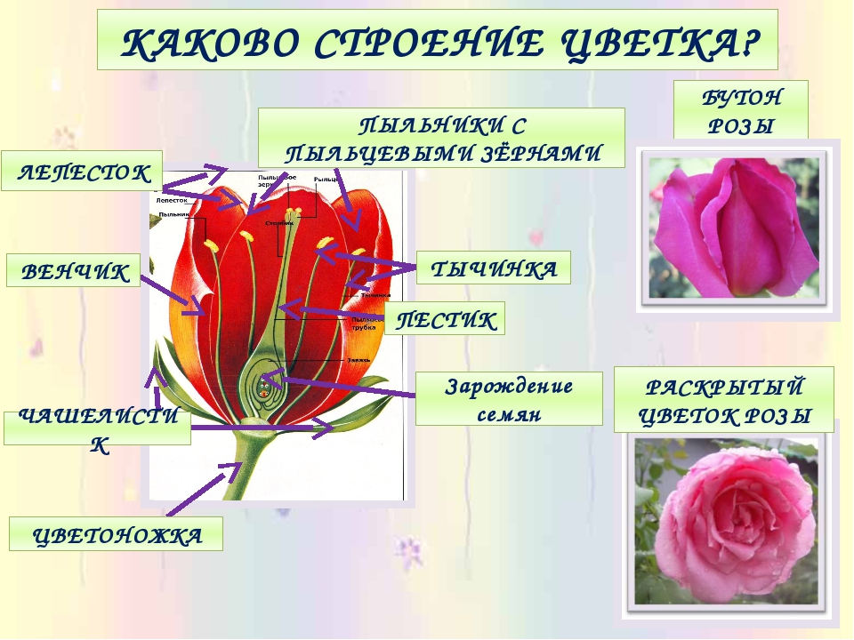 Фото строение розы