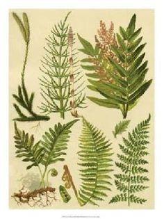 Botanical Illustration Fern Fiddlehead
