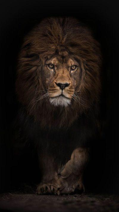 Best 25+ Lion wallpaper ideas on Pinterest | Lion, Lion art and Live wallpaper iphone
