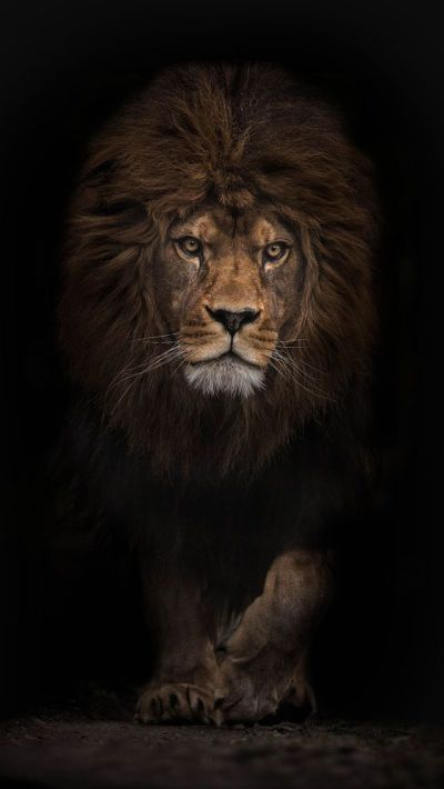 LION, IPHONE WALLPAPER BACKGROUND | IPHONE WALLPAPER / BACKGROUNDS | Pinterest | iPhone ...