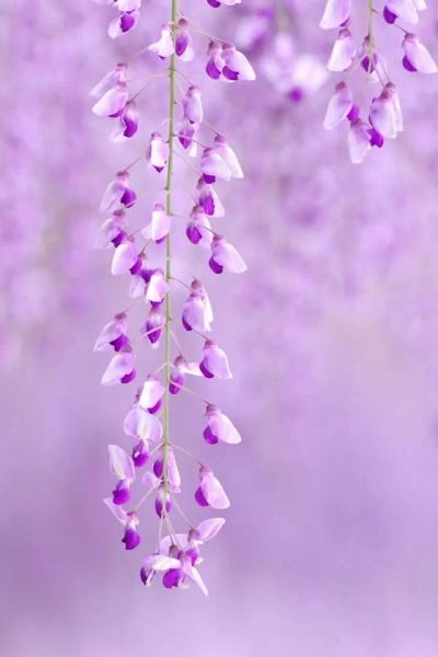 Purple & Lavender Wisteria Flowers | Flowers & Gardens | Pinterest | Wallpapers, Wisteria and ...