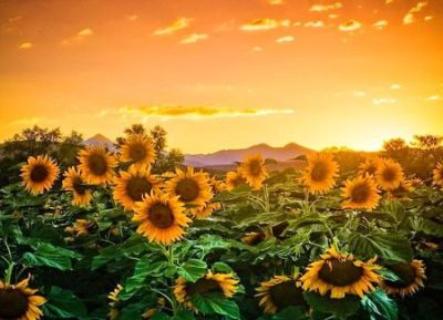 Sunflower sunset - Fields & Nature Background Wallpapers on ... | here comes the sun...flowers ...
