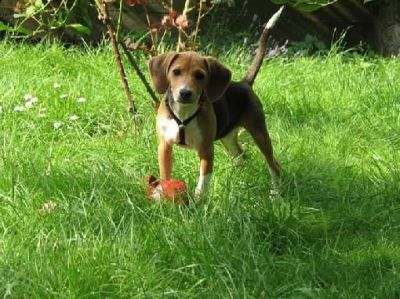 1000+ images about Harrier Hound on Pinterest | Beagles, English foxhound and Puppy care