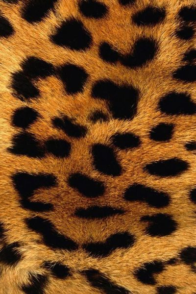 Leopard Skin iPhone wallpaper/I Have this and a leopard cover | lOVE LEOPARD-ALWAYS HAVE SINCE ...