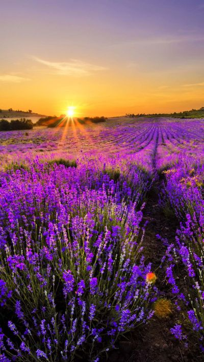 65 NATURAL IPHONE WALLPAPERS FOR THE NATURE LOVERS | Lavender, Wallpaper and Landscaping