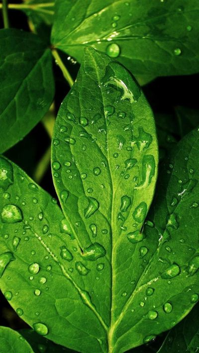 Close-ups iPhone 6 Plus Wallpapers - Morning Dew Green Leaf iPhone 6 Plus HD Wallpaper | iPhone ...