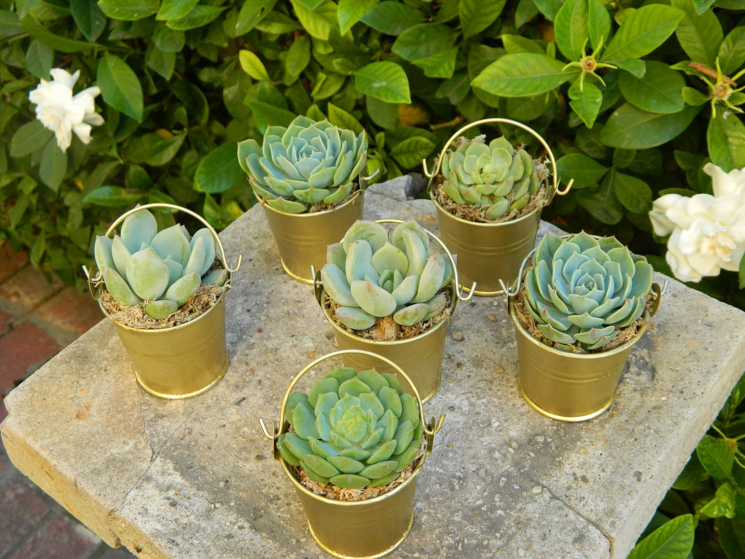fall wedding favors Special Listing for Erin 80 Succulent Wedding Favors Rustic Wedding Favor Fall Wedding Favor Garden Party Favor Mini Pail Succulent