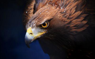#Golden #Eagle #wallpaper #background #widescreen for #iphone #android #pc #GoldenEagle ...