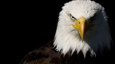 Eagle HD Wallpapers | HD Wallpapers | Pinterest | Eagle wallpaper and Wallpaper