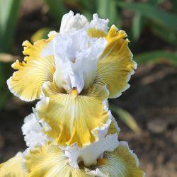 Photo of Tall Bearded Iris Iris Baby I Love You Uploaded By