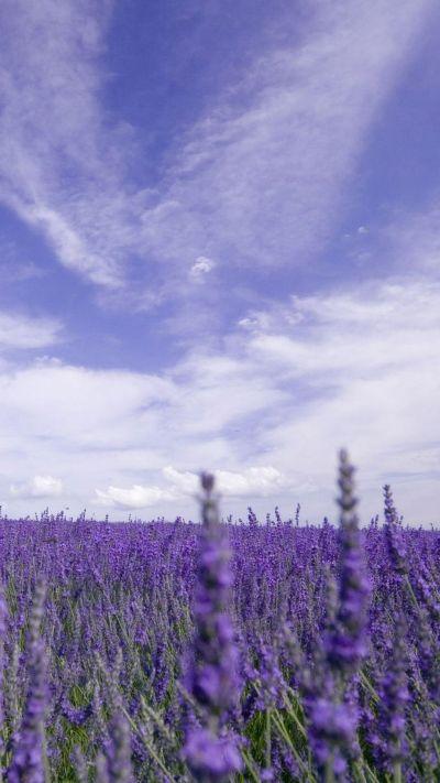 Nature Purple Lavender Garden iPhone 6 wallpaper   Wallpapers   Pinterest   Gardens, Lavender ...