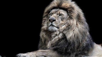Lion Wallpapers | Best Wallpapers