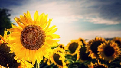 Sunflower Wallpapers | Best Wallpapers