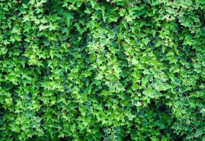 Getting Rid Of Ivy Ground Cover   Shapeyourminds.com