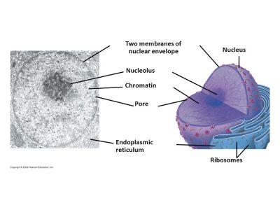 Lecture 17 Nucleus pp ppt video online download