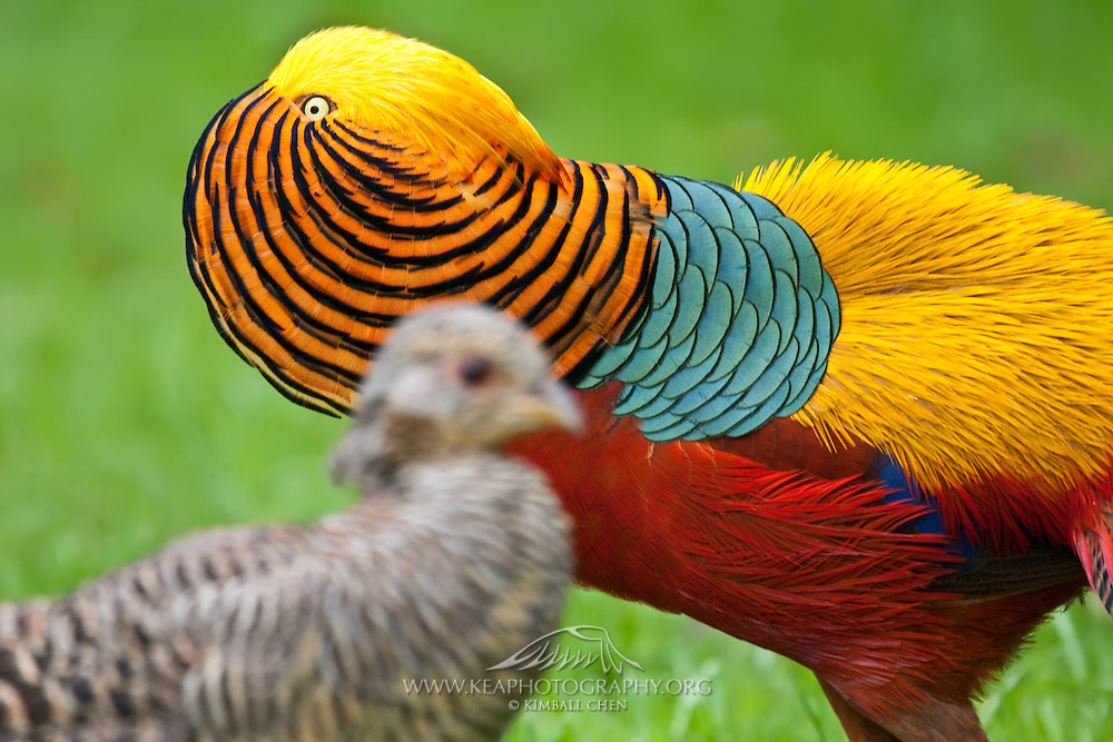 Golden Pheasant photos pictures   Kea Photography Golden Pheasant  male courting a female with a colorful display of feathers