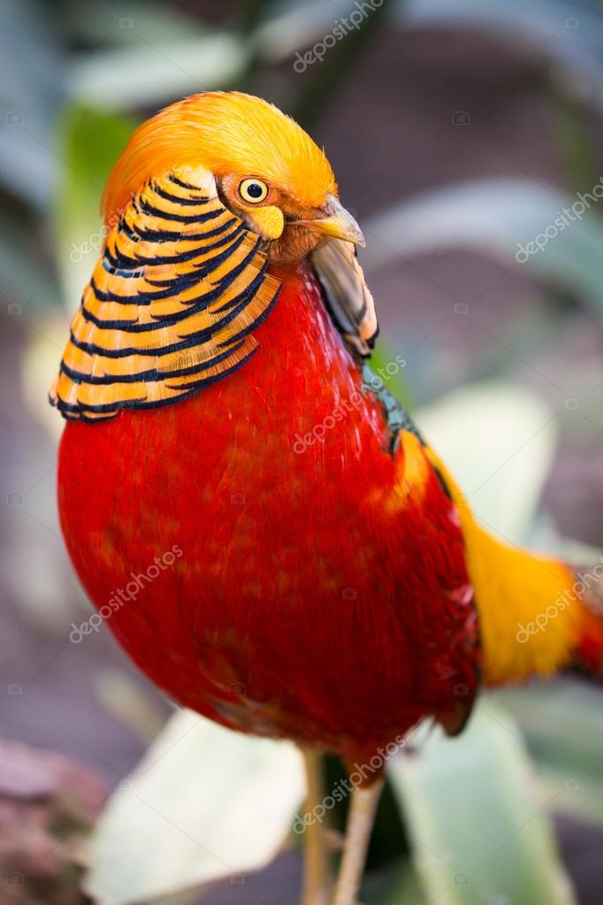 Beautiful Male Golden Pheasant Bird     Stock Photo      fouroaks  73534665 Beautiful Male Golden Pheasant Bird     Stock Photo