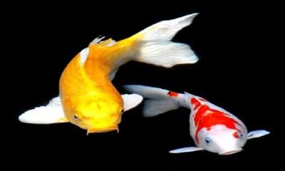 Free KOI Fish HD Live Wallpaper APK Download For Android   GetJar