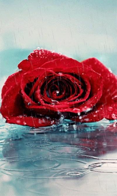 Free Red Rose Live Wallpape APK Download For Android | GetJar