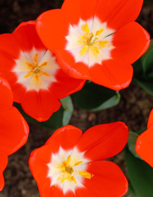 Red Tulips at the Keukenhof Gardens