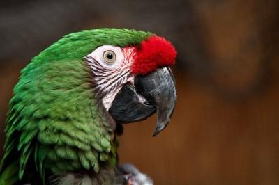 Macaw Headshot Photo Wallpaper - The Customize Windows