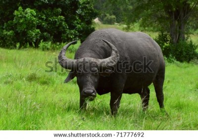 Water Buffalo Stock Images, Royalty-Free Images & Vectors   Shutterstock