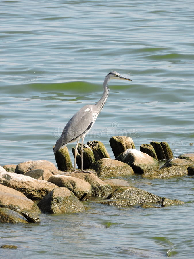 Grey heron bird stock image  Image of animal  long  water   61976541 Download Grey heron bird stock image  Image of animal  long  water    61976541