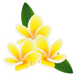 Hawaii Flower Frangipani Plumeria on White Background Green Leaves