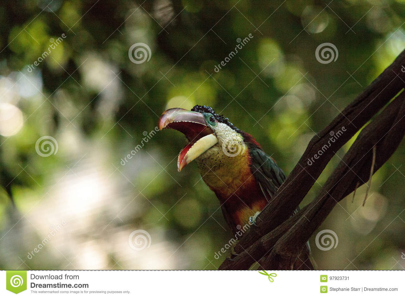 Curl crested Aracari Called Pteroglossus Beauharnaesii Stock Image     Download Curl crested Aracari Called Pteroglossus Beauharnaesii Stock Image    Image of bill  avian