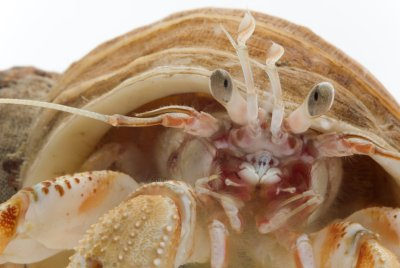 Cannibalistic Hermit Crabs Salivate at the Smell of Their ...