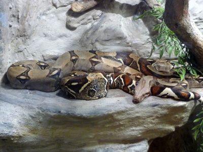 Boa constrictor - Wikipedia