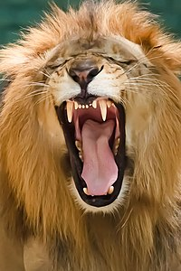 Lion   Wikipedia A lion s teeth are typical of a carnivore
