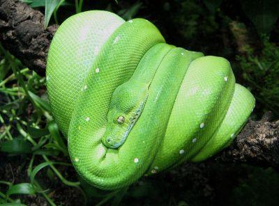 Green tree python - Wikipedia