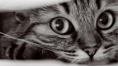 1366x768 Cat Wallpapers #10543 Wallpaper   WallDiskPaper