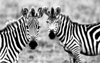 Zebra Wallpaper Cool Animals #10905 Wallpaper | WallDiskPaper