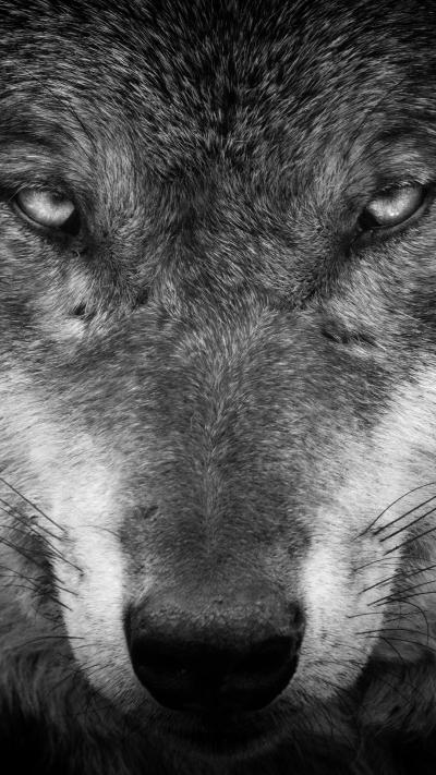 Wolf iPhone Wallpapers - Top Free Wolf iPhone Backgrounds - WallpaperAccess