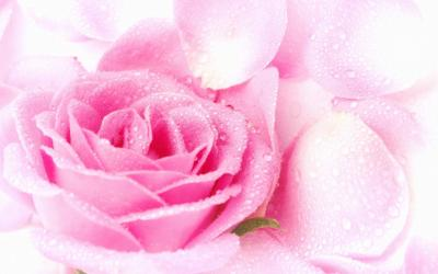 Free Roses Wallpapers - Wallpaper Cave