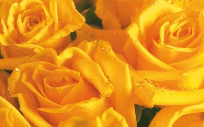 Yellow Rose Flower Wallpapers - Wallpaper Cave