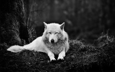 White Wolf Wallpapers - Wallpaper Cave