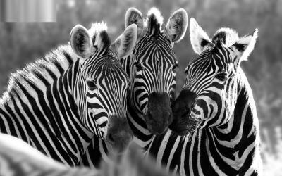 Zebra Desktop Wallpapers - Wallpaper Cave