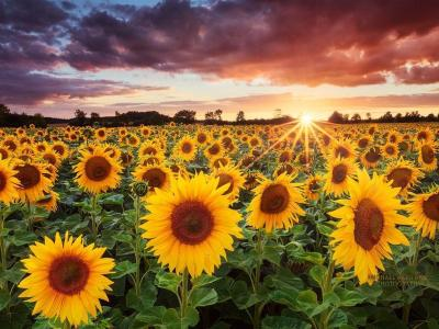 Sunflower Backgrounds - Wallpaper Cave