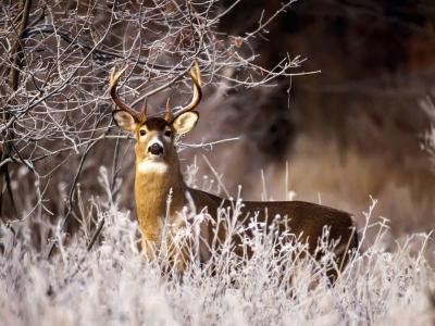 Free Whitetail Deer Wallpapers - Wallpaper Cave