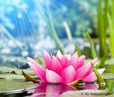 Lotus Flower Wallpapers - Wallpaper Cave